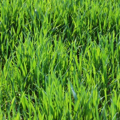 crabgrass lifecycle and how to eliminate it