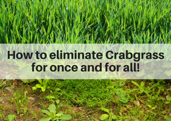 How to eliminate crabgrass for once and for all | Lawn Solutions in Fairfield County CT